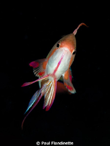 Male scalefin Anthia. Taken with D300, Nikkor 105 plus 1.... by Paul Flandinette 